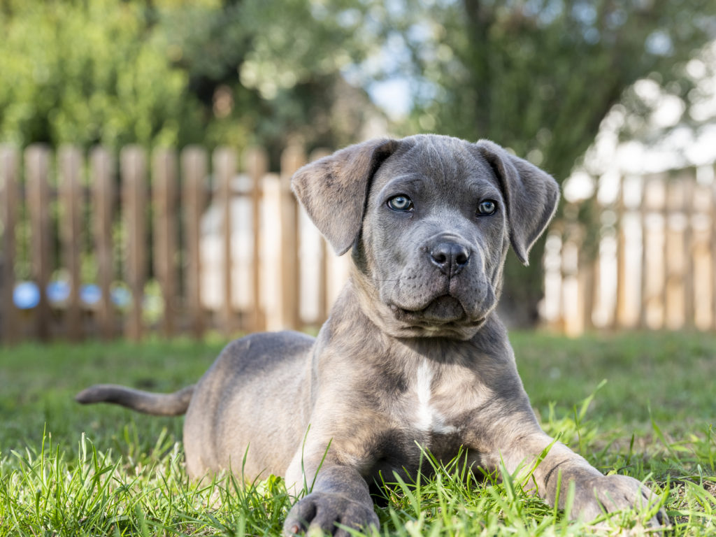 cane-corso-welpe-online