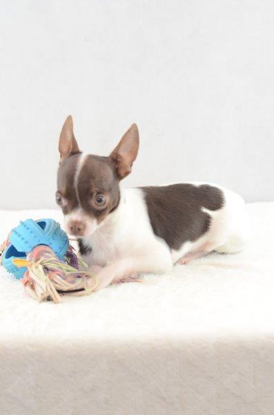 Bob - Chihuahua Welpe zu verkaufen Mänlich