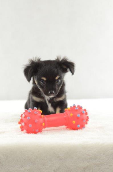Nina - Chihuahua Welpe zu verkaufen Weiblich