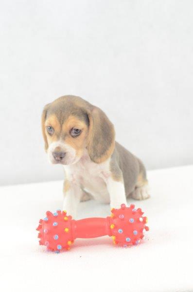 Amalie - Beagle Welpen zu verkaufen Weiblich